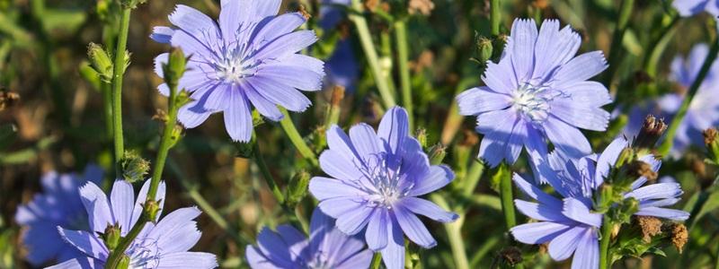 Chicory katángkóró Bach-virágeszencia