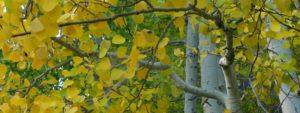 Aspen Rezgőnyár Bach-virágeszencia