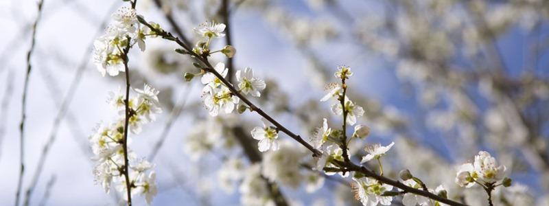 Cherry plum - Cseresznyeszilva Bach-virágeszencia