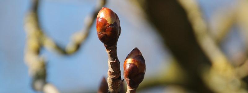 Chestnutbud-Vadgesztenyerügy Bach-virágeszencia