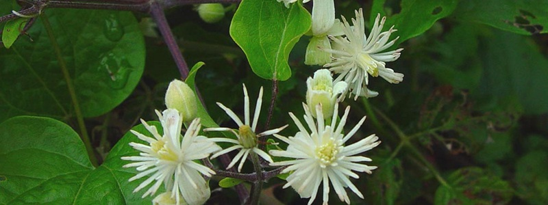 Clematis-Iszalag-Bach-virág