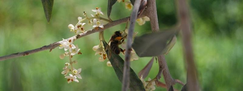 Olive - Olajfa Bach-virágeszencia