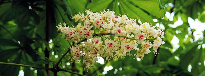 White Chestnut - Fehér virágú vadgesztenye Bach-virágeszenci