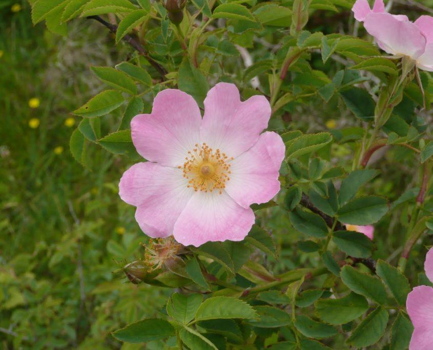Wild Rose - Vadrózsa Bach-virág