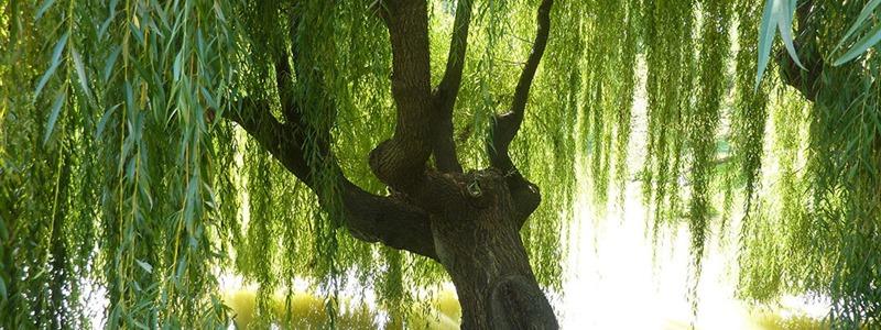 Willow Fűz Bach-virágterápia