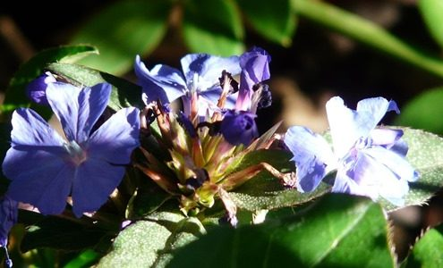 Cerato - Kékgyökér Bach-virágeszencia