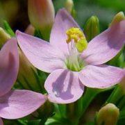 Centaury - Kisezerjófű Bach-virágeszencia
