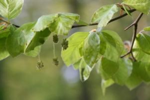 Beech - Bükk Bach-virág