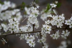 Cherry plum Cseresznyeszilva Bach-virág