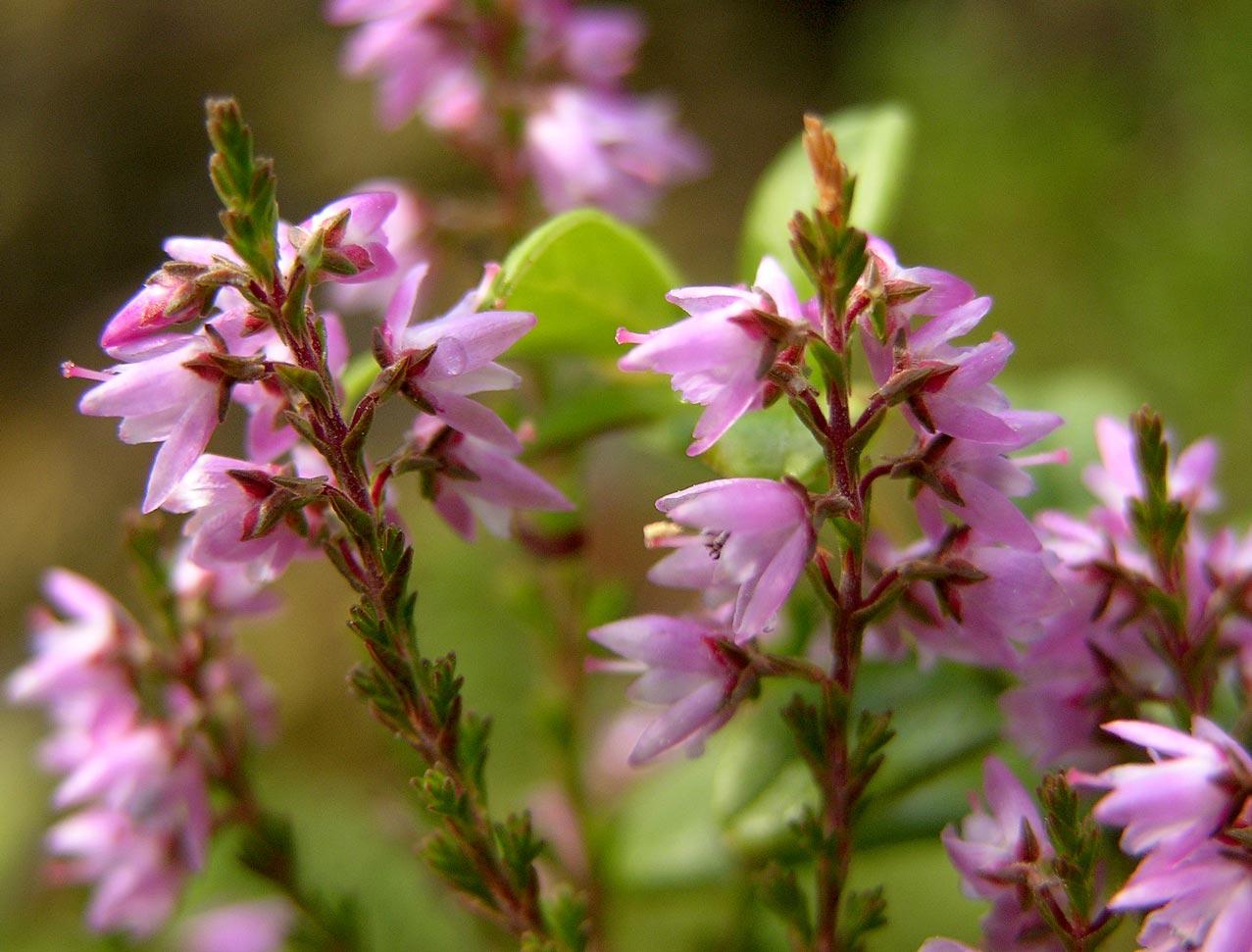 Heather - Hanga Bach-virág