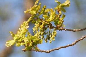 Oak - Tölgy Bach-virág