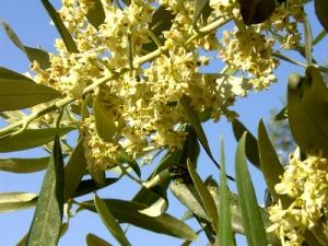 Olive - Olajfa Bach-virág