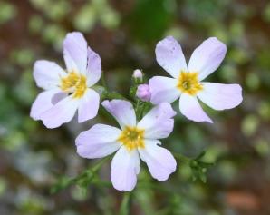 Water Violet - Békaliliom Bach-virág