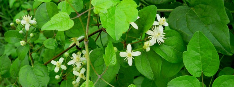 clematis-iszalag