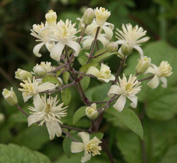 Clematis-Iszalag virág